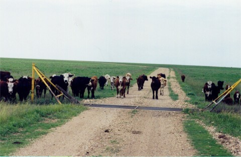 Cows on Lean Horse course